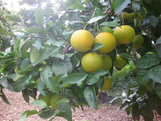 Agroturisme Finca Sa Maniga: Orange Grove