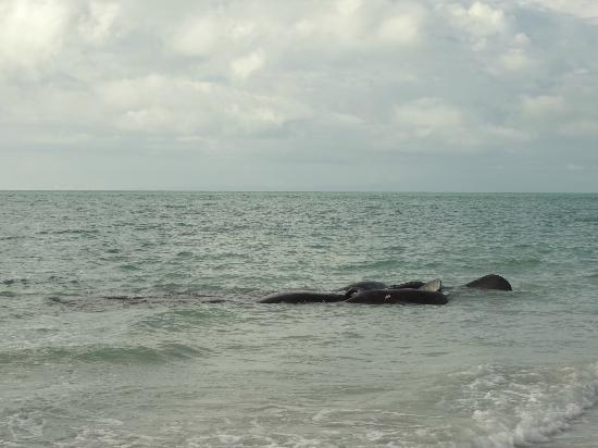 Sanibel Island Lighthouse: manatees at the lighthouse
