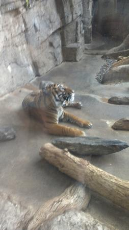 Downtown Aquarium: Tiger