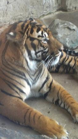 Downtown Aquarium: Awake tiger