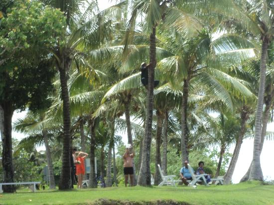 Bedarra Beach Inn: up the coconut tree