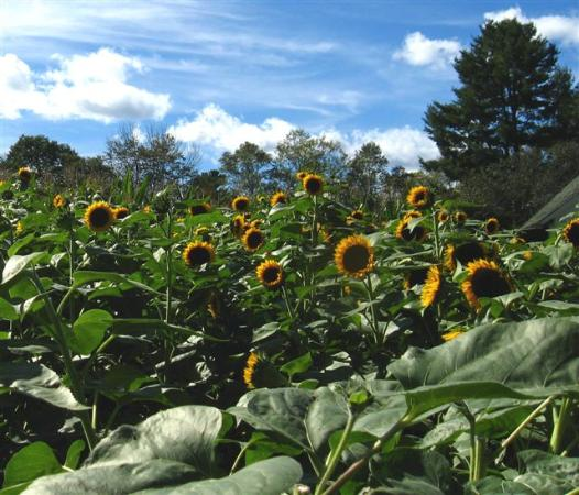 Riverview Farm: Field of gold against a sky of blue