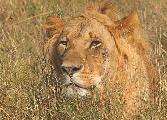 Porini Lion Camp: No.2 of our Big 5 day - stalking in the grass