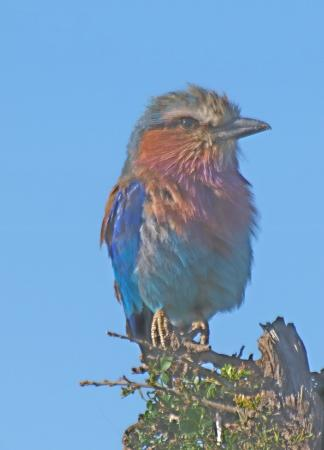 Porini Lion Camp: Lilac breasted roller