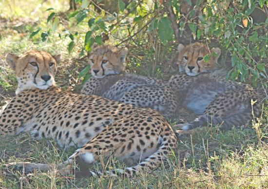 Porini Lion Camp: Cheetah mother with three cubs