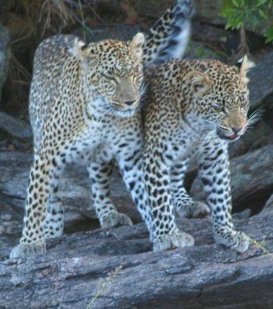 Porini Lion Camp: No.1 of our Big 5 day - mother leopard with cub in the conservancy
