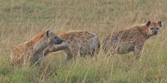 Porini Lion Camp: Hyena