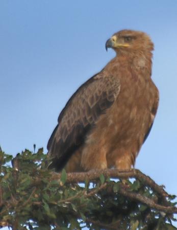 Porini Lion Camp: Tawny eagle