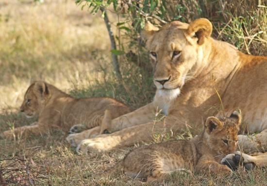 ‪‪Porini Lion Camp‬: Mother with cubs‬