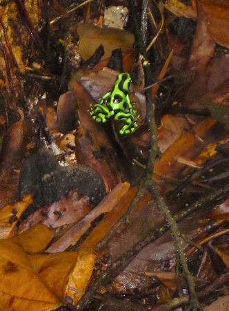 Observatorio natural: Green Poison Dart Frog
