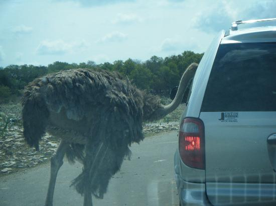 Natural Bridge Caverns: watch out for the ostriches!