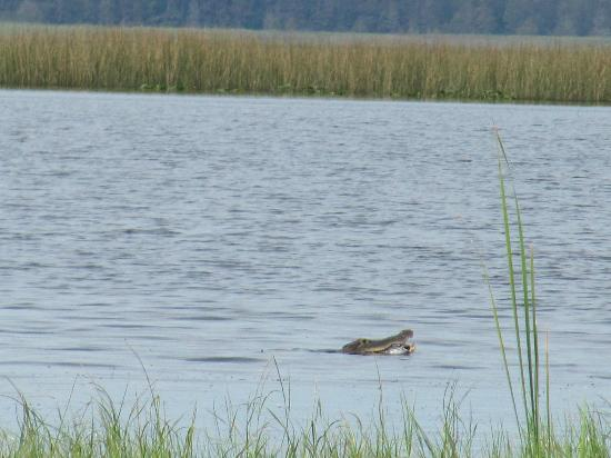 Alligator Cove Airboat Nature Tours: gator isst Fisch