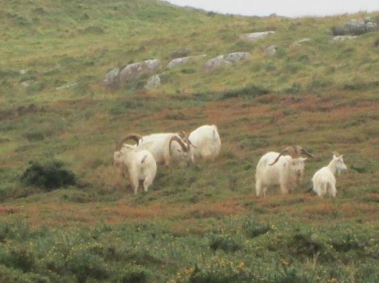 Great Orme: Great Orme Kashmiri Goats 