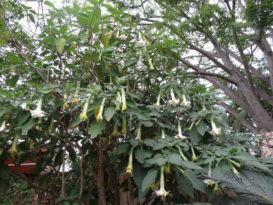 Casa do Sol: Brugmansia tree off the patio - beautiful!