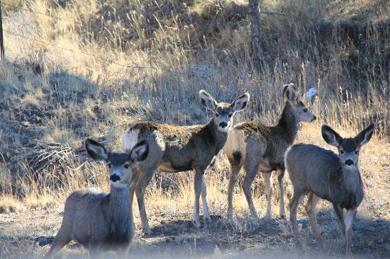 Pueblo, CO: Mule Deer