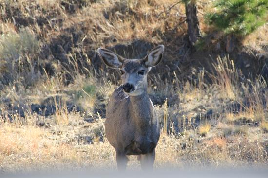 San Isabel National Forest: Mule Deer by the road