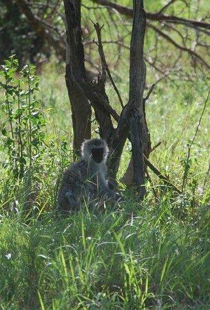 Lake Manyara Serena Lodge: Monkey outside our room
