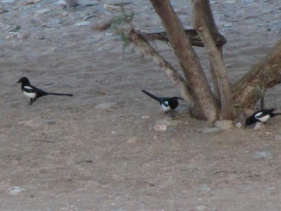 Aegeon Beach Hotel: Magpies as seen from the room