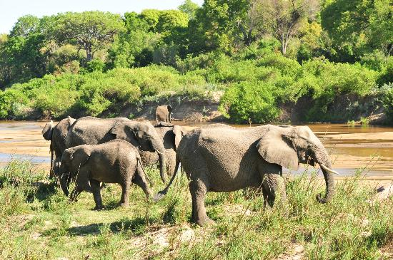Ulusaba Rock Lodge: family of elephants grazing and crossing the river