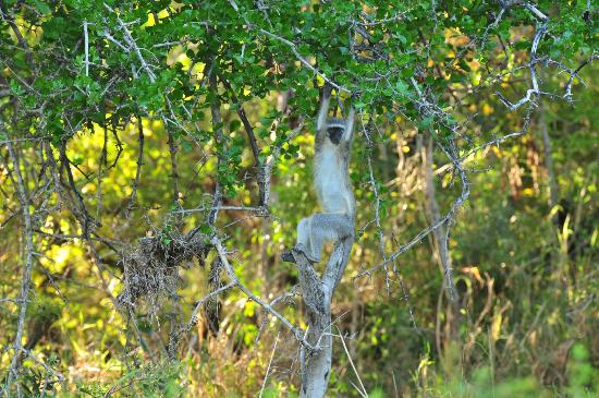 Ulusaba Rock Lodge: Vervet monkey