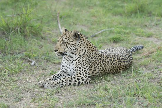 Ulusaba Rock Lodge: One of three beautiful leopards