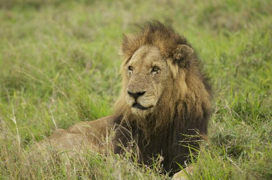Ulusaba Rock Lodge: Old male Lion-Selati pride?