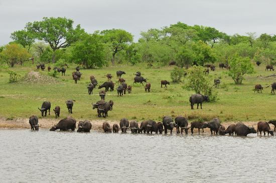 Ulusaba Rock Lodge: Herd of Cape buffalo coming to drink at the watering hole