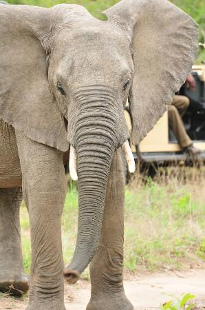 Ulusaba Rock Lodge: close Elephant