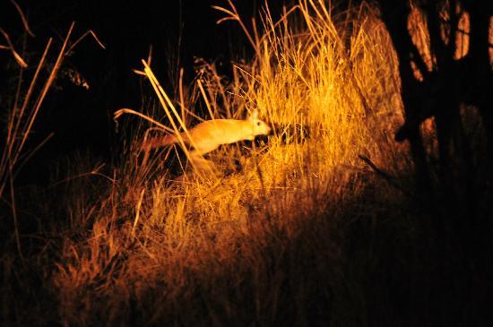 Kwara Camp - Kwando Safaris: spring hare-springing