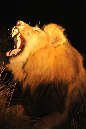 Kwara Camp - Kwando Safaris: male lion yawning like they do