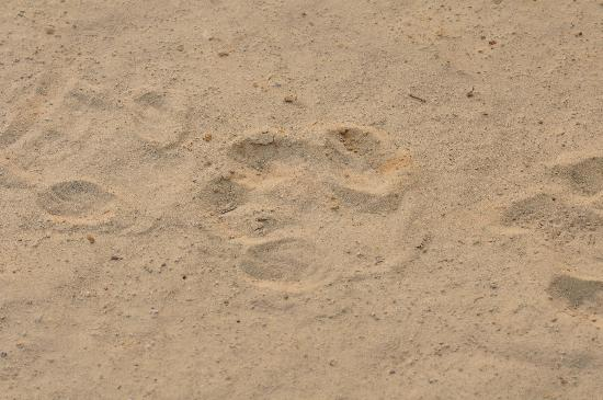 Kwara Camp - Kwando Safaris: track of an ???