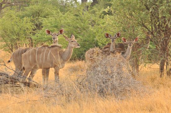 Kwara Camp - Kwando Safaris: Kudo