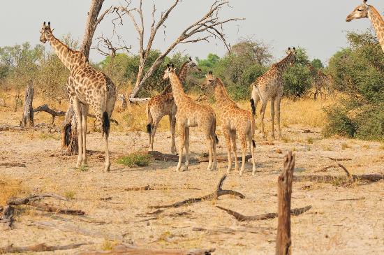 Kwara Camp - Kwando Safaris: giraffes