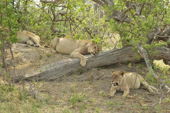 Kwara Camp - Kwando Safaris: pride oflions in the shade
