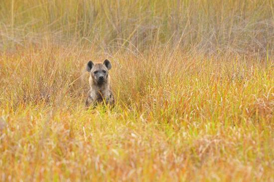 Kwara Camp - Kwando Safaris: Hyena
