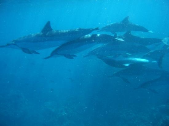 Four Seasons Resort Hualalai: Dolphins