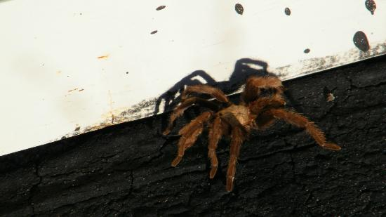 Valley of Fires Recreation Area: Brown Tarantula