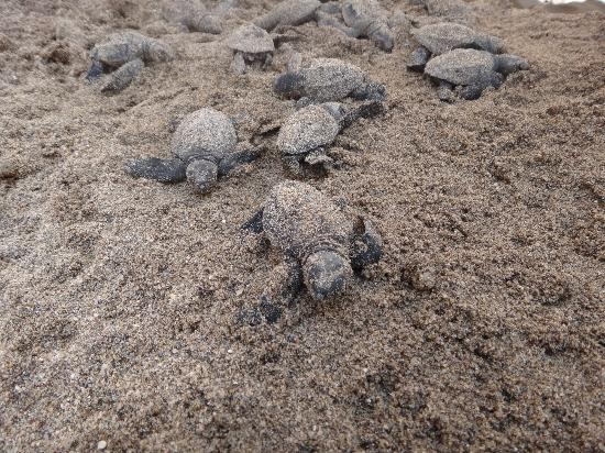 Crown Paradise Golden Resort Puerto Vallarta: Baby turtles who just hatched :)
