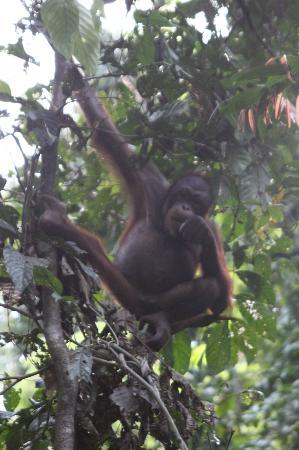 Sepilok Jungle Resort: King of the swingers