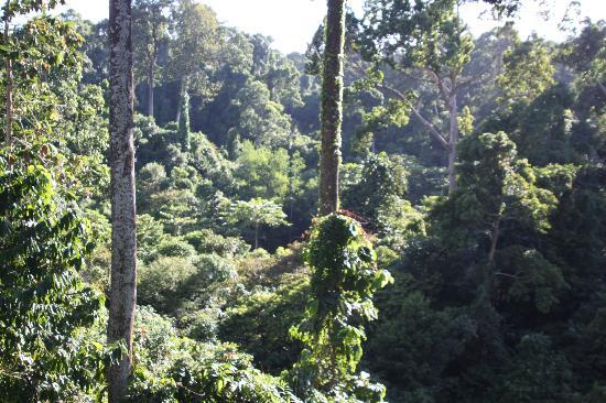 Sepilok Jungle Resort: Rain Forrest from canopy walkway