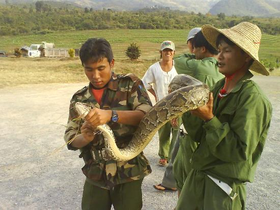 Nyaung Shwe, Burma: A young Burmese python found in the vineyard