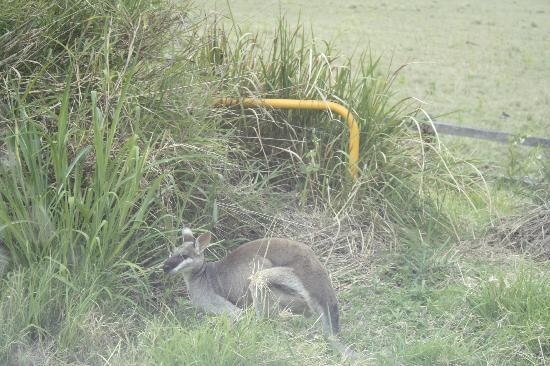 Southern Cross 4WD Tours: Pretty faced wallaby