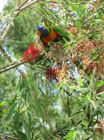 Clifton Beach Retreat: Rainbow Lorikeets feeding on bottlebrush outside B&B