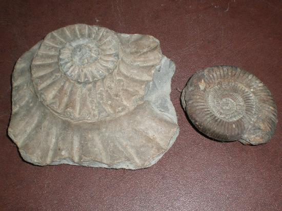 Charmouth Heritage Coast Centre: 2 collected from the beach - left: the impression left in the stone and right: an ammonite