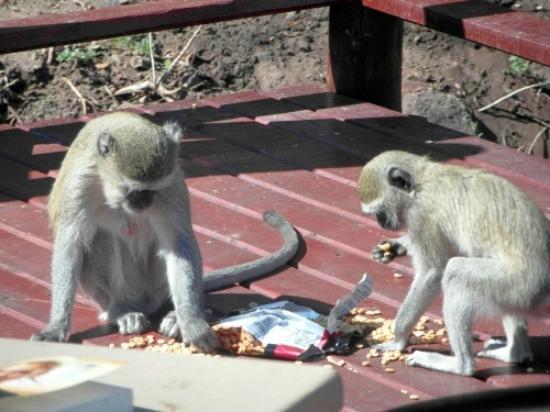 Chobe Marina Lodge : The thieving monkeys!