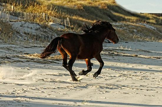 Wild Horse Adventure Tours: Outer Banks Wild Horses on a cold Nov day.