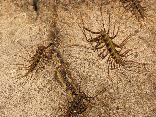 Gomantong Cave Sandakan: Highly Poisonous Scutigera Centipedes