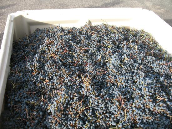 Chateau Faire le Pont Winery: Harvested grapes