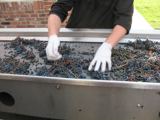 Chateau Faire le Pont Winery: Getting the grapes ready