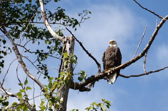Bella Coola Mountain Lodge: Eagle Eye---American eagle in Canada!